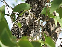 The plumage of the African Scops Owl allows it to blend in with its surroundings.