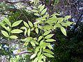 Agaete - Huerto de las Flores 7 Seifenbaum.jpg