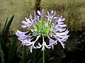 Agapanto (Agapanthus praecox) - Flickr - Alejandro Bayer (3).jpg