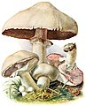 Agaricus-campestris-gramberg-1913-pilzederheimatei00gram 0119.jpg
