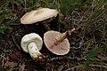 Agaricus silvicola near Jaffray.jpg