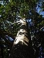Agathis robusta (F.Muell.) F.M.Bailey (AM AK297417-3).jpg