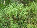 Ageratina adenophora habit5 (11508247964).jpg