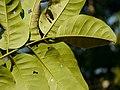 Aglaia spectabilis P1130445 03.jpg