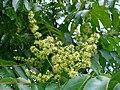 Ailanthus altissima 002.JPG