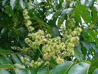 Pajaseň žliazkatý (lat. Ailanthus altissima) - kvety