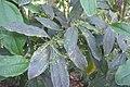 Aiouea neurophylla.jpg
