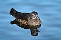 Aix sponsa (Wood Duck - Brautente) - Weltvogelpark Walsrode 2012-12.jpg