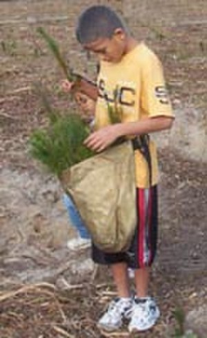 Alabama people - A boy from the Alabama-Coushatta reservation planting Christmas trees.