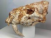 Albanosmilus jourdani - crani.jpg