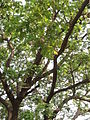 Albizia saman (Raintree) (18).jpg