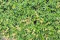 Alchemilla alpina in Jardin des 5 sens (4).jpg
