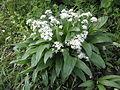 AlliumUrsinum .R.H. (18).jpg