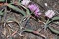 Allium crenulatum 5231.JPG