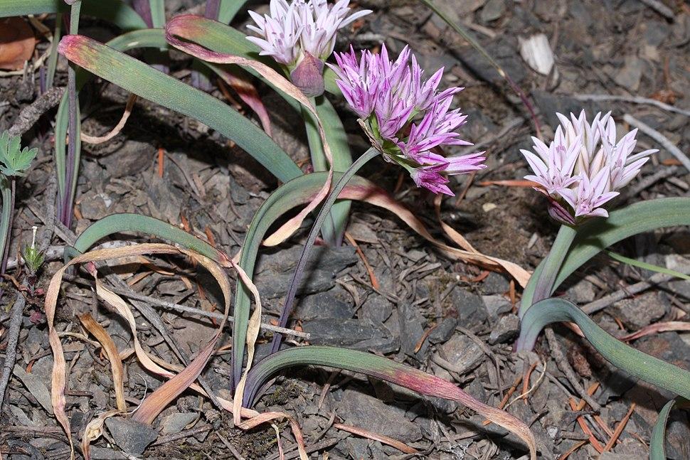 Allium crenulatum 5231