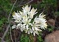 Allium roseum kz03 Morocco.jpg