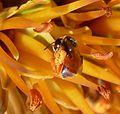 Allodapula variegata, Pretoria NBT, b.jpg