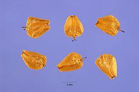 Alnus rubra seeds.jpg