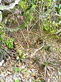 Aloe mossurilensis - natural habitat (9692788686).jpg
