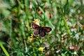 Alpe Veglia - farfalla del genere Erebia.jpg