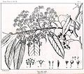 Alphitonia excelsa00.jpg