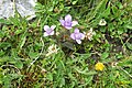 Alpine flora (Gru) (37866382871).jpg