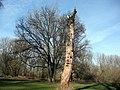Alter Baum in den Siegauen - 2 Jahre nach Bild 1 - panoramio.jpg