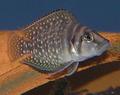 Altolamprologus calvus.png