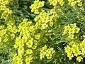 Alyssum saxatile1.jpg