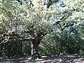 Alzina del Vent - Serra de l'Obac P1090285.jpg