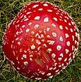 Amanita muscaria (15624906732).jpg