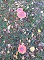 Amanita muscaria Dendermonde 001.jpg