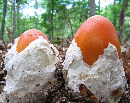 Mushroom - Wikiwand