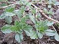 Amaranthus californicus (5132559351).jpg