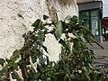 Amaranthus viridis sl47.jpg