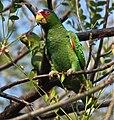 Amazona albifrons -Costa Rica-8.jpg