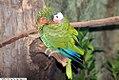 Amazona leucocephala 1zz.jpg