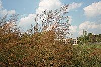 Ambrosia trifida