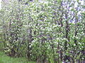 Amelanchier canadensis in blossom.jpg