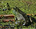American Bullfrog (Rana catesbeiana) Upper Pool Marshbird Survey, 05 May 2012 (7164441192).jpg
