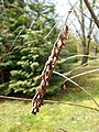 Amorpha californica 2017-04-30 8776.jpg