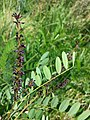 Amorpha fruticosa sl3.jpg