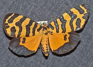 <i>Amphicallia</i> Genus of moths