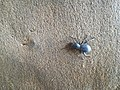 An insect in Tharparkar.jpg