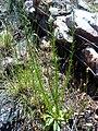Anarrhinum bellidifolium Habitus 2009-5-17 DehesaBoyaldePuertollano.jpg