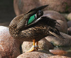 Meller's duck - Note color of speculum feathers