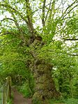 Ancient pollarded oak near 47547 39334.JPG