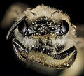 Andrena fenningeri, F, Face 2, Bowie, Maryland 2013-06-12-15.16.59 ZS PMax (9068889267).jpg