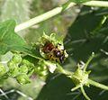 Andrena florea - Flickr - gailhampshire.jpg