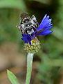 Andrena fuscocalcarata female 2.jpg